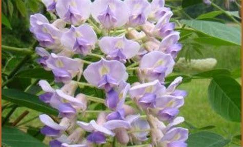 wisteria macrostachya quot blue moon quot kollar nursery