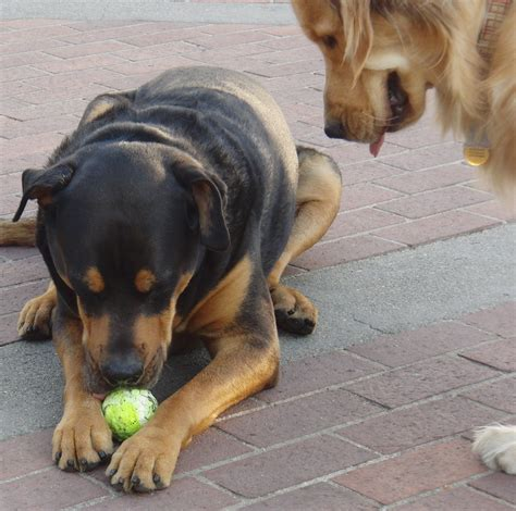 golden retriever x rottweiler quot ptoo i no quot quot awww you never let me play with