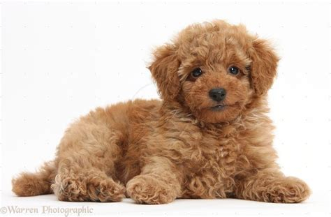 brown poodle puppy light brown poodle puppies puppies poodles poodles poodles