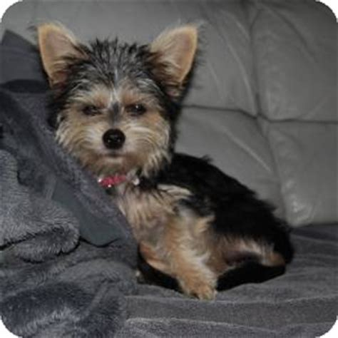 schnauzer yorkie mix miniature schnauzer yorkie mix puppies pictures to pin on pinsdaddy