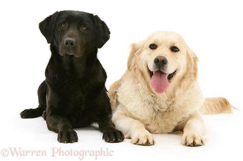 golden retriever and black lab dogs black labrador and golden retriever photo wp12395