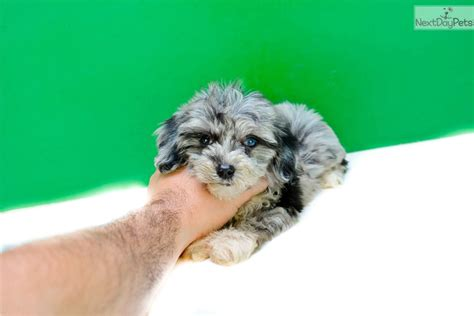 yorkies for sale in ohio yorkie poo for sale in cleveland ohio breeds picture
