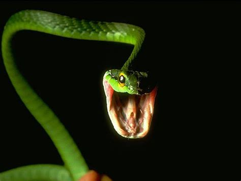 angry green snake wallpaper hd wallpapers