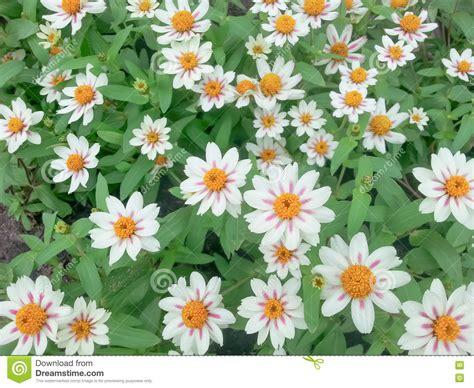 fiori bianchi piccoli piccoli fiori bianchi fotografia stock immagine 82168149