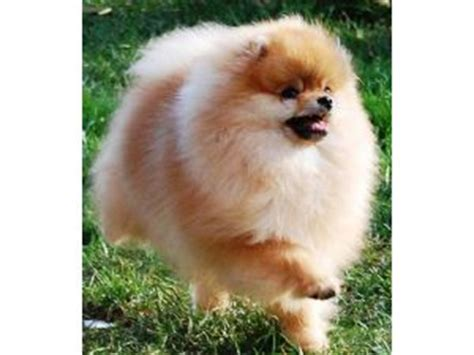 teacup pomeranian for sale in missouri chihuahua and puppy breeders in missouri website rachael edwards