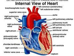 frontal section of the heart cardiovasclar system the heart flashcards quizlet