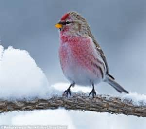 birds love playing in wintry weather too redpolls make