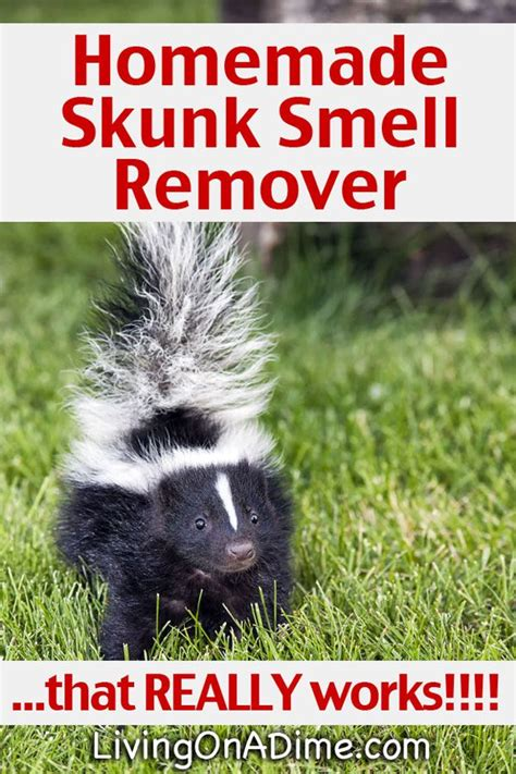 skunk spray 15 best ideas about skunk smell remover on skunk removal urine