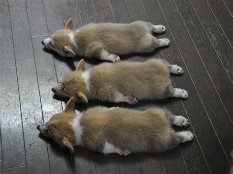 corgi puppy sleeping puppy corgi puppies corgis pembroke corgi count the corgis they are