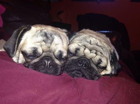 pug squishy my 2 squishy pugs sleeping together them i pugs pug