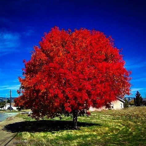 maple tree vs autumn blaze autumn blaze maple tree for sale the tree center