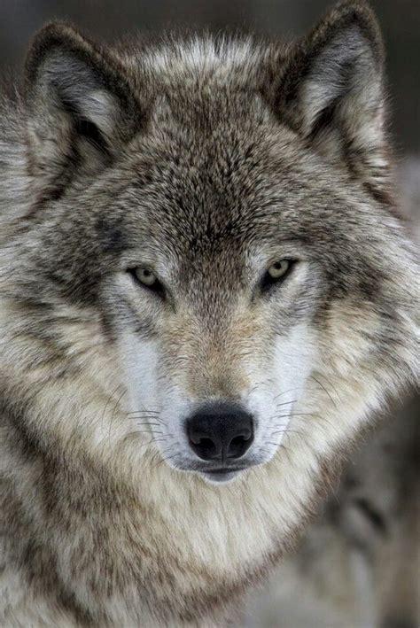 grey wolf wolf dog animals wild beautiful wolves