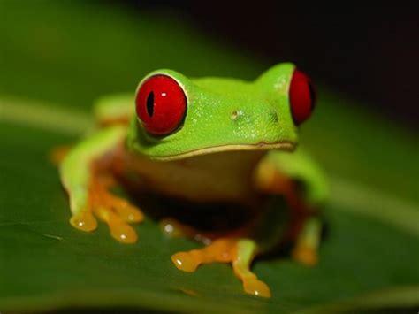 imagenes d ranas alegres rana de ojos rojos agalychnis callidryas mascotas