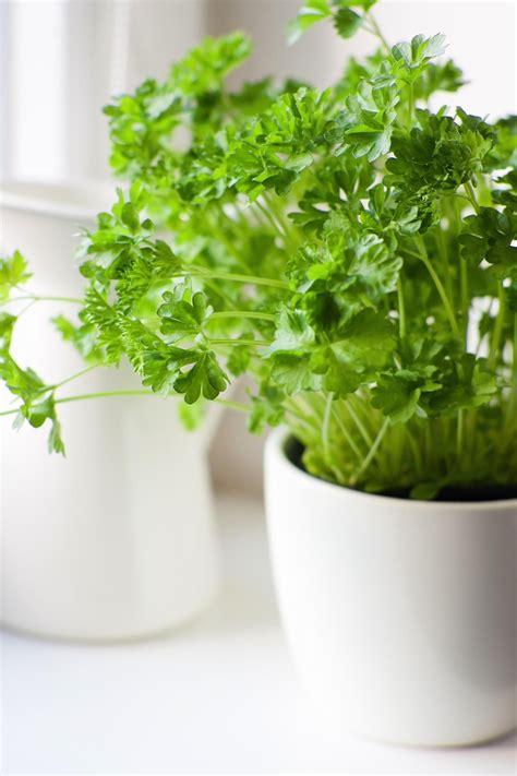 easiest herbs  grow indoors growing herbs