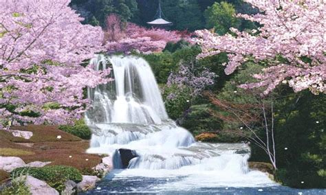 sagura japan cherry blossom moving waterfall  images