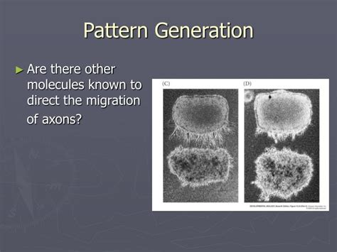 pattern seeking definition ppt neural crest cells and axonal specificity powerpoint