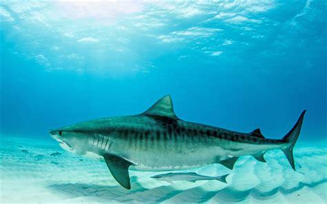 imagenes para fondo de pantalla de tiburones descargar fondos de pantalla tibur 243 n tigre 4k mundo