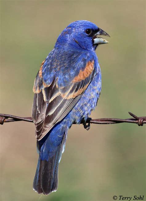 blue grosbeak south dakota birds and birding
