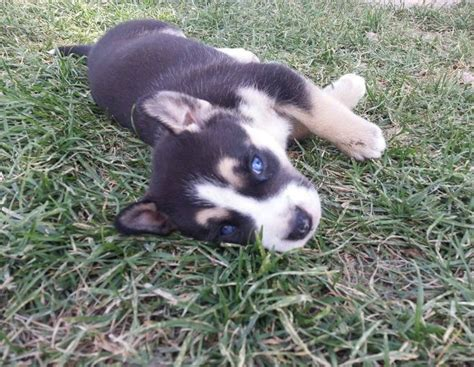 husky pitbull puppies 1000 images about pitsky