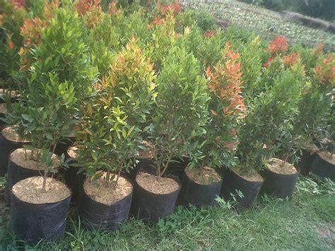 jual pohon pucuk merah murah tanaman hias pucuk merah