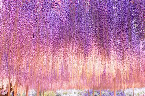 wisteria meaning this 144 year old wisteria in japan looks like a pink sky