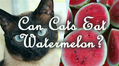 can my eat watermelon can cats eat watermelon pet consider