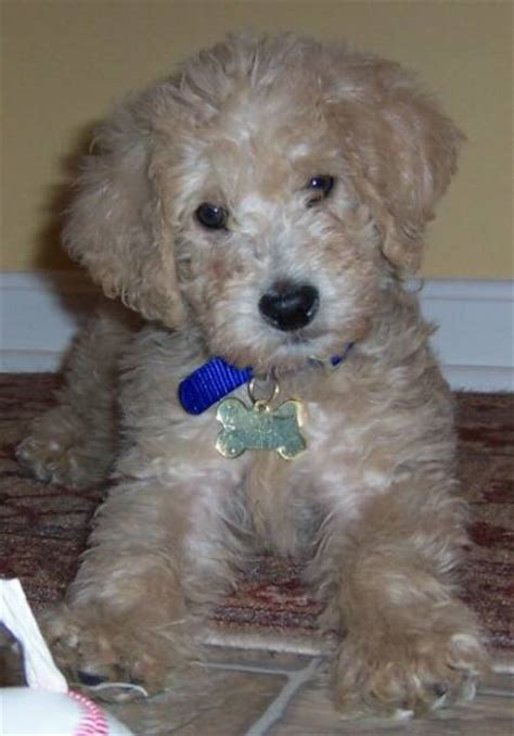 goldendoodle puppy rescue ohio goldendoodle and labradoodle puppies from yesteryear acres