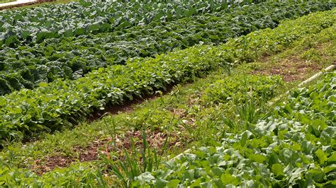 Vegetable Garden Crop Rotation A Guide To Crop Rotation Vegetable Families
