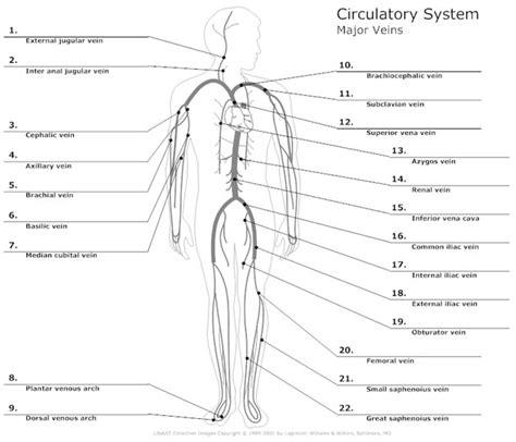 labeled artery diagram circulatory system diagram types of circulatory system