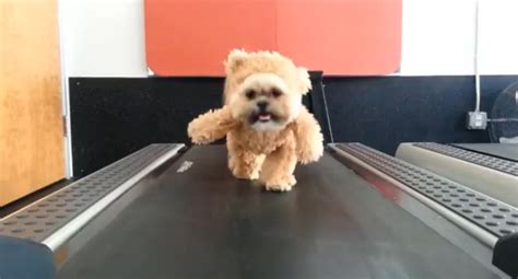 shih tzu teddy costume this shih tzu is wearing a teddy costume and his own exercise