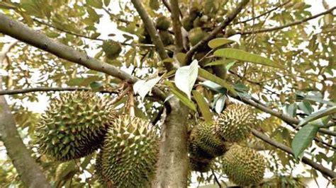 ternyata hutan durian teluas se asia  indonesia