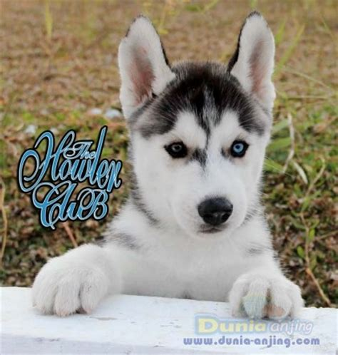 miniature husky puppies for sale mini husky puppies for sale quotes
