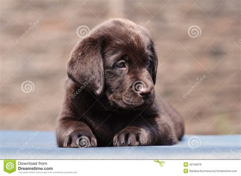 2 month puppy two month puppy of labrador stock photo image 42145676