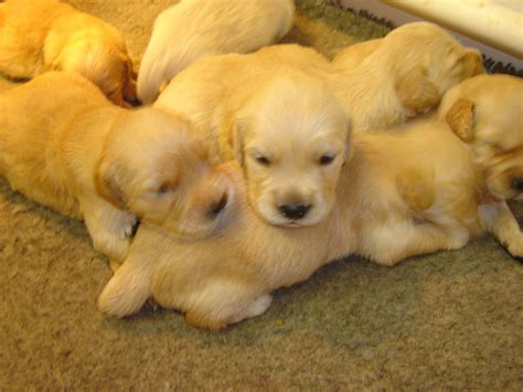pedigree golden retriever puppies for sale pedigree golden retriever puppies deal kent pets4homes