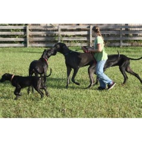 great dane puppies for sale florida hickory hollow danes great dane breeder in kissimmee florida