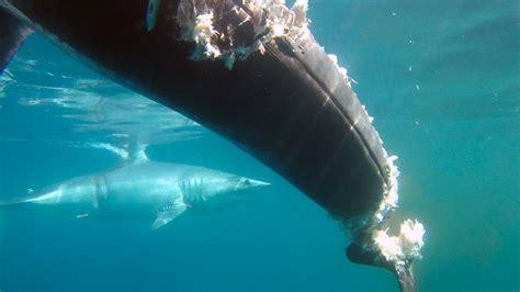 mako shark boats huge mako shark relentlessly attacks boat eats 700lb