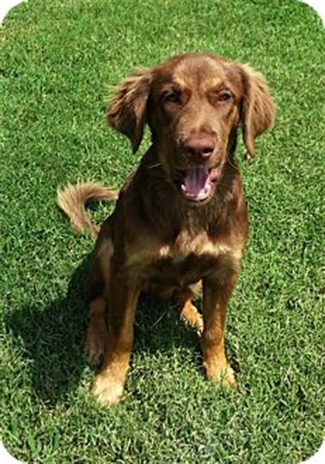 chocolate lab mixed with golden retriever chocolate lab golden retriever mix www pixshark images galleries with a