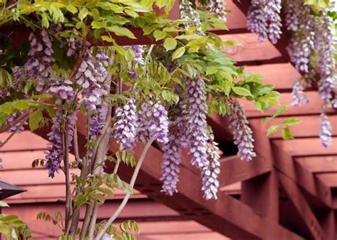 getting wisteria to bloomm wisteria how to plant grow and care for wisteria vines the farmer s almanac