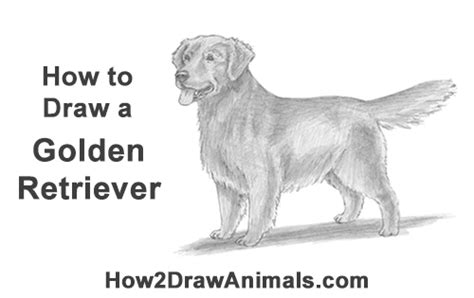 how to draw a golden retriever easy how to draw a golden retriever
