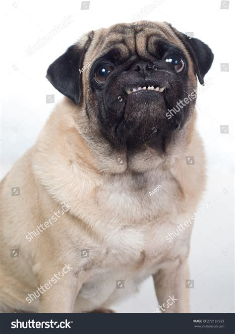 pug begging grinning smilling cheeky pug begging for food stock photo 272187929