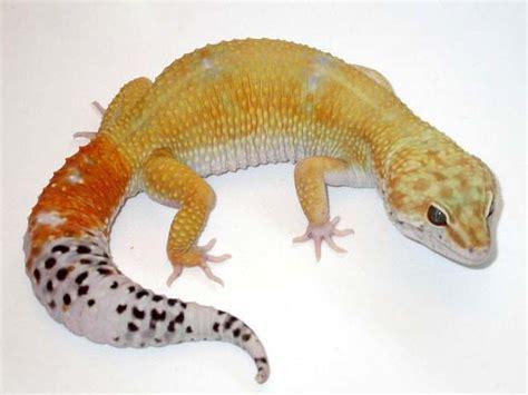 leopard gecko care sheet corn snakes pinterest