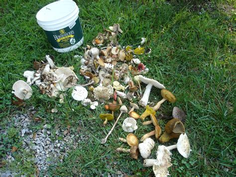 backyard mushrooms dogs mushroom poisoning in dogs deaf dogs rock