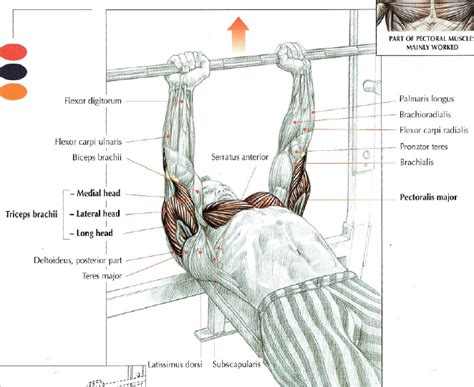 bench press works what muscles close grip bench press the stephane andre