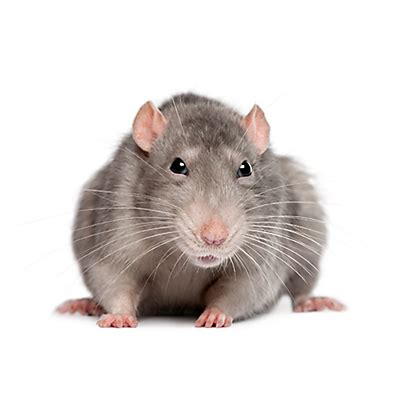 image rat.png | animated video games muscle wikia