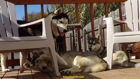 home husky simple home made remedy to stop your husky from chewing