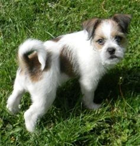 rat terrier shih tzu mix shih tzu mix ideas on shih tzu peanuts and beds