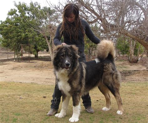 ovcharka puppies caucasian ovcharka info temperament puppies pictures