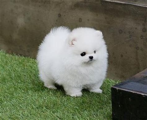 tiny pomeranian for sale in illinois pomerania white pomerania dogs toys and bebe