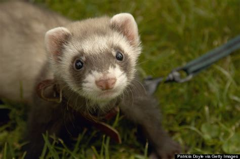what are good house dogs do ferrets make good house pets