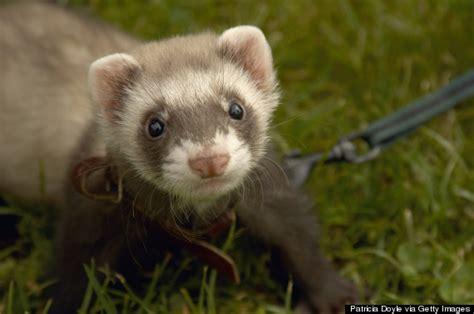 house of pets do ferrets make good house pets